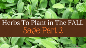 Herbs To Plant In The Fall Sage Part 2