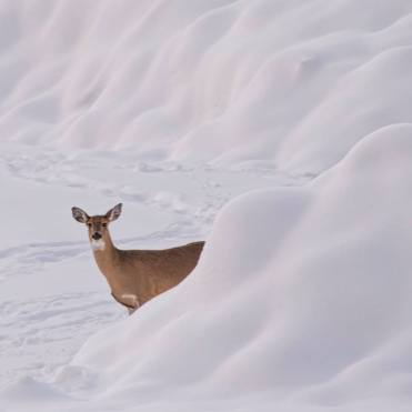 Lone Deer in the snow