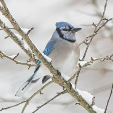 bird blue jay