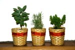 The Basics Of Growing Herbs Indoors