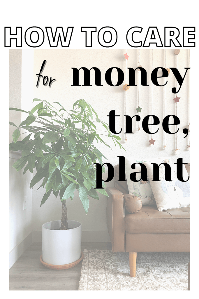 HOW TO CARE FOR A MONEY TREE PLANT