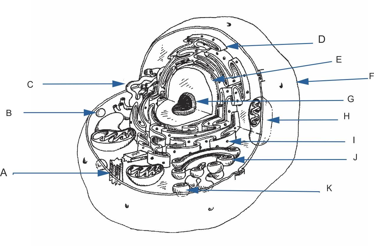Eukaryotic Cell Diagram Unlabeled Diagram