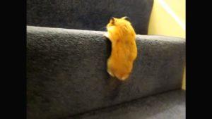 Хомячок на лестнице