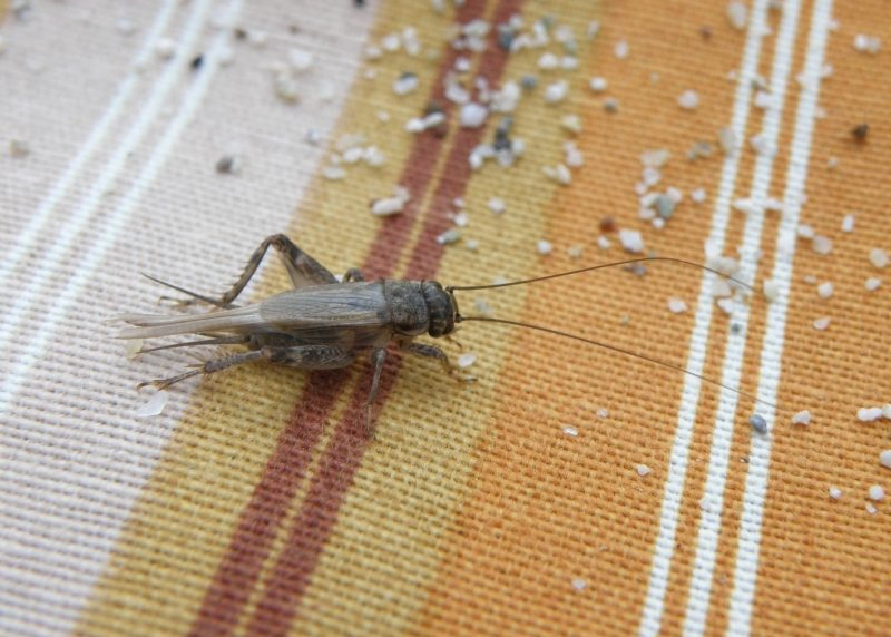 Cricket Facts and Keeping Crickets as Pets | The Old Farmer's Almanac