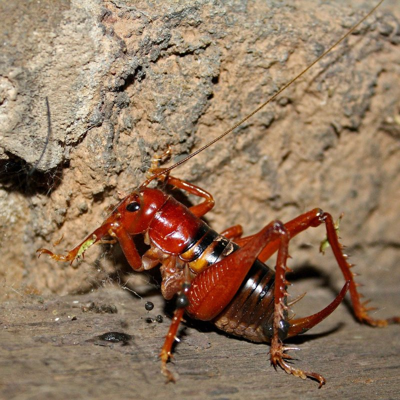 Scary king cricket is a beautiful example of evolution at its best