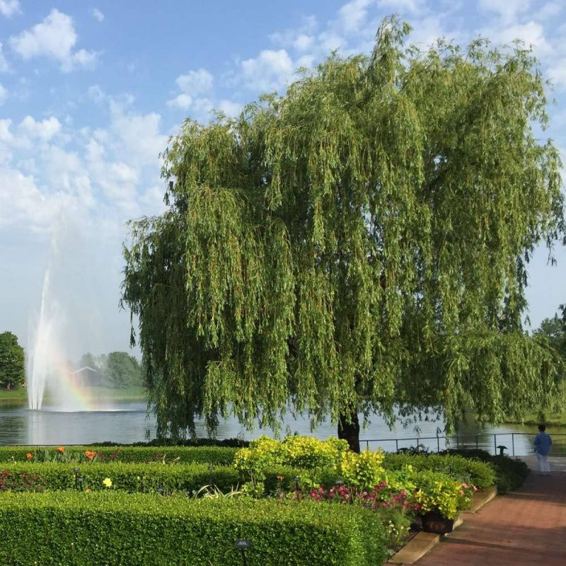Weeping Willow Shade Trees for Sale– FastGrowingTrees.com