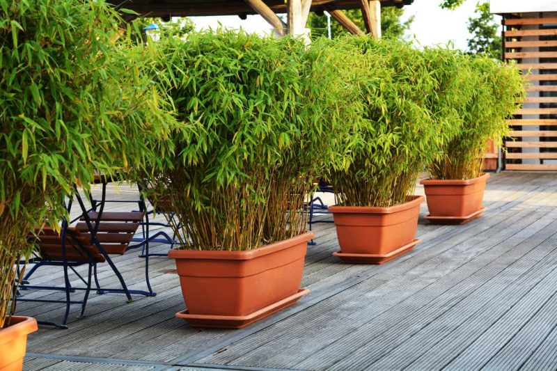 10 Different Types of Bamboo for Yards, Gardens, Decks and Indoors