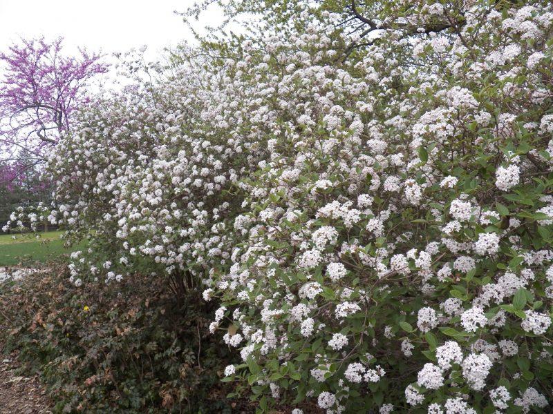 Add viburnum carlesii, Korean Spice Viburn to your landscape for extremely fragrant spring blossoms. This shrub is a favorite of … | Viburnum, Shrubs, White gardens