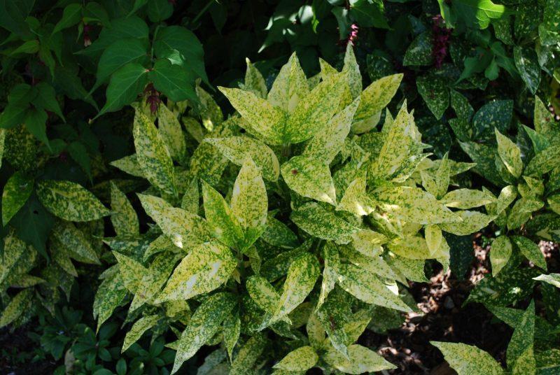 Aucuba Japonica Golden King | Emerald Plants