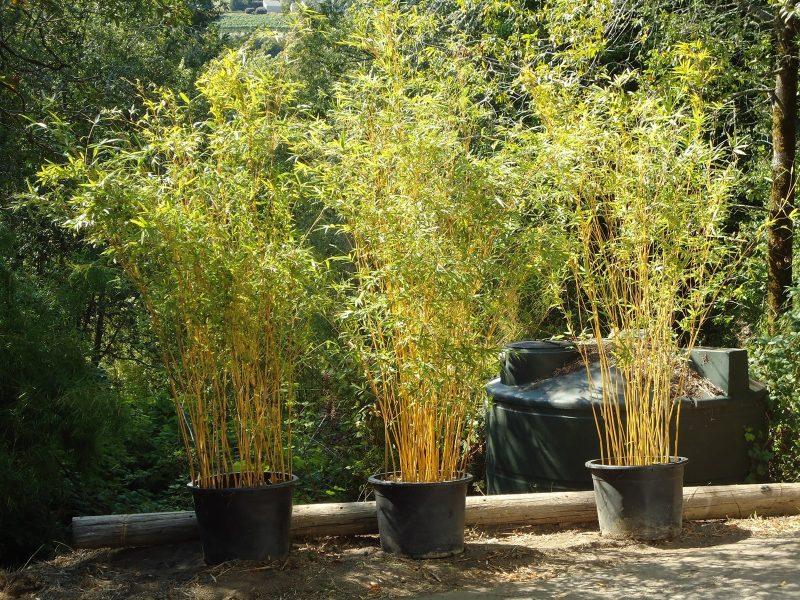Bambusa multiplex 'Alphonse Karr' - BMPA - Bamboo Sourcery Nursery & Gardens