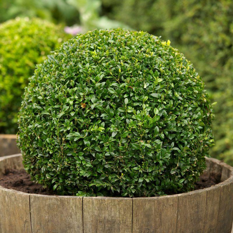 Boxwood, Buxus sempervirens, Seeds, (Hardy Evergreen, Topiary, Hedge, Bonsai) | eBay