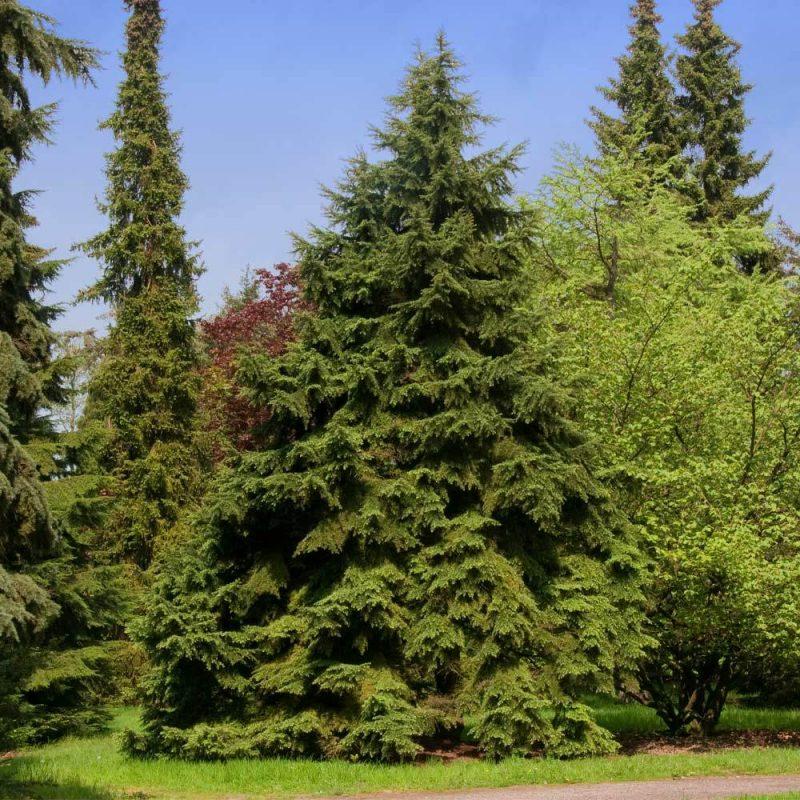Canadian Hemlock Trees for Sale– FastGrowingTrees.com