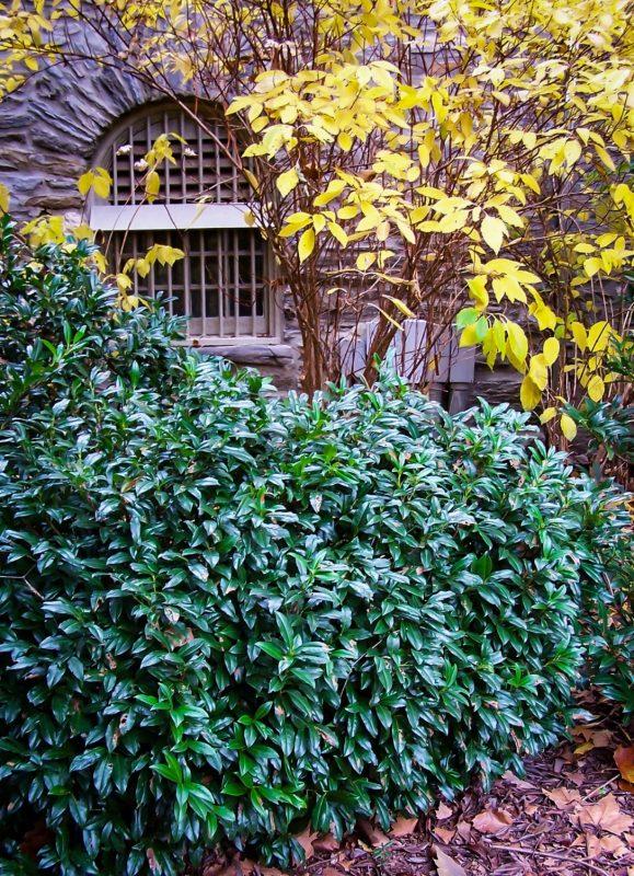 Chestnut Hill Cherry Laurel | The Tree Center™