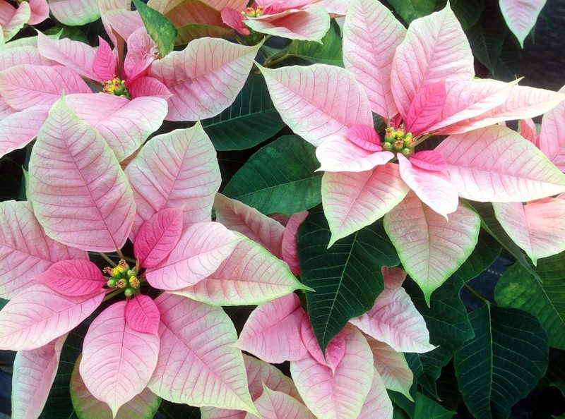 Christmas Beauty Nostalgia' Poinsettia (มีรูปภาพ)