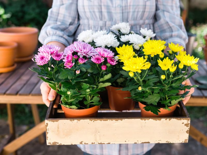 Chrysanthemum Growing Tips - How to Grow Mums | Apartment Therapy