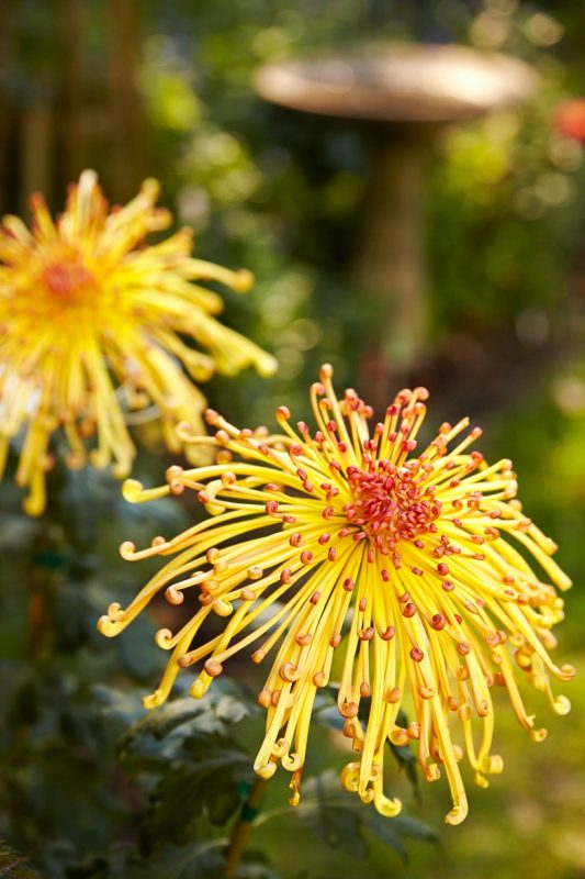 Chrysanthemums Facts To Get You In the Mood for Fall | Better Homes &  Gardens