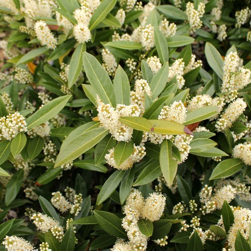 Compact Laurel Hedge | Prunus laurocerasus Otto Luyken | Hedges Direct