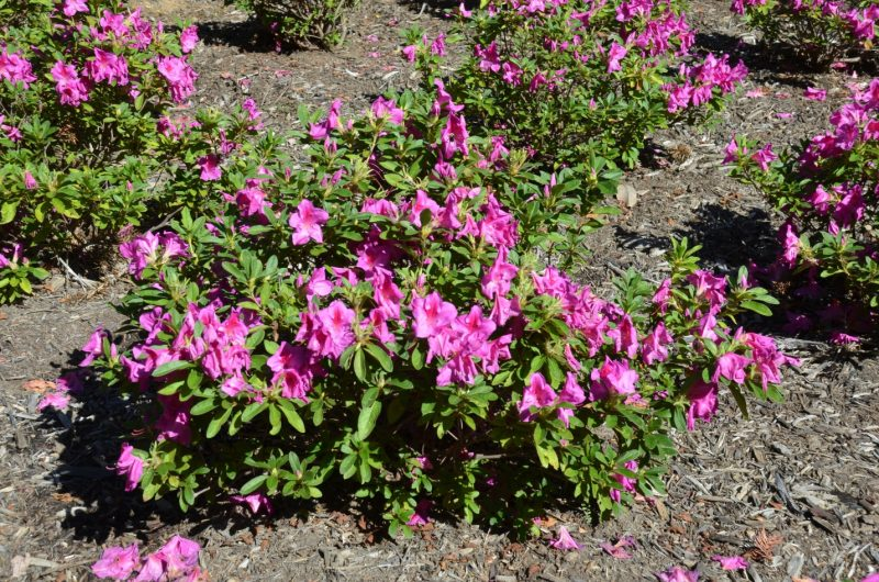 Comparing Encore™ and Bloom-A-Thon™ Azaleas | What Grows There :: Hugh Conlon, Horticulturalist, Professor, Lecturer, and Gardener