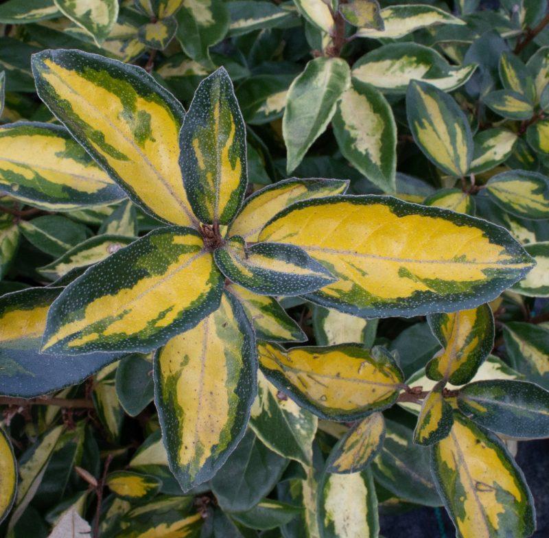 Elaeagnus Maculata | Mail Order Trees