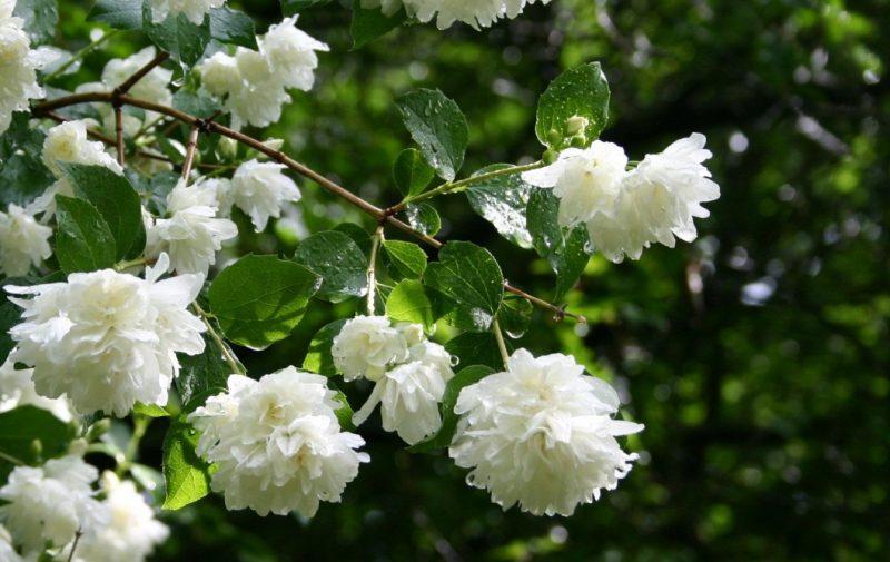 False Jasmine: Philadelphus | Jasmine flower, White flowers garden, Flower wallpaper