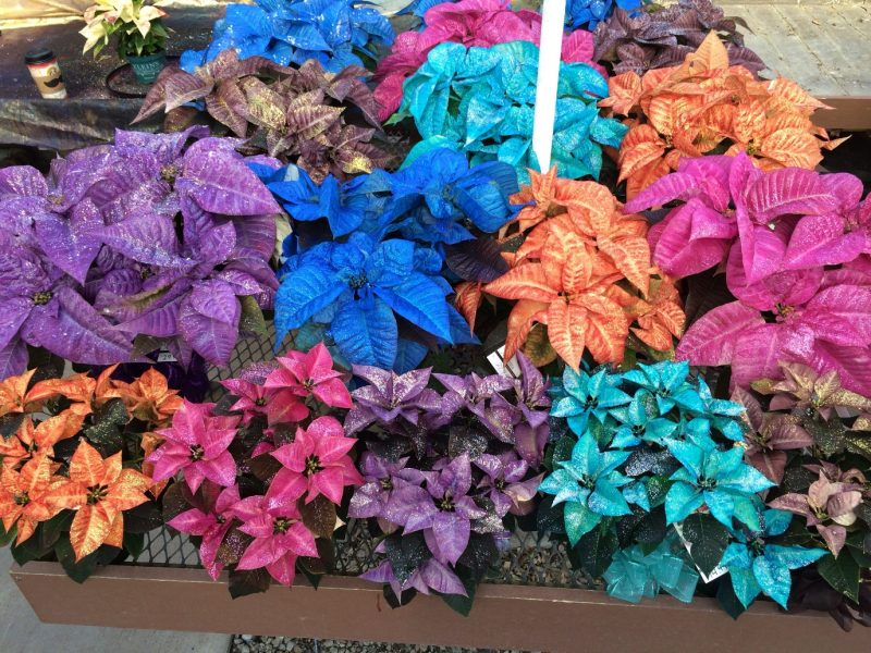 Fantasy colored poinsettias! | Poinsettia, Color, Drawings