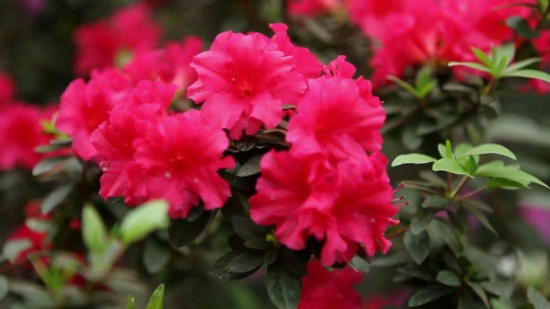 Free photo: Azalea Flower - Azalea, Flower, Flowers - Free Download - Jooinn