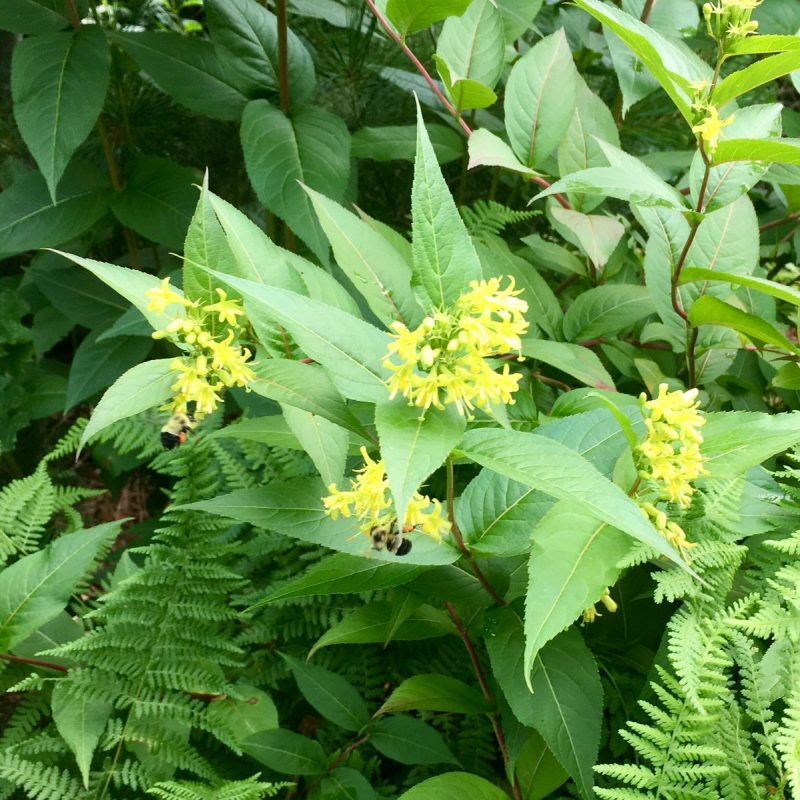 "Gaia Nativescapes LLC on Twitter: ""#Bumblebees 🐝on my northern bush- honeysuckle (#Diervilla lonicera) #plantnative #pollinatorgarden #ecologicalgardening #diervillalonicera… https://t.co/Lxp9zxIz8E"""