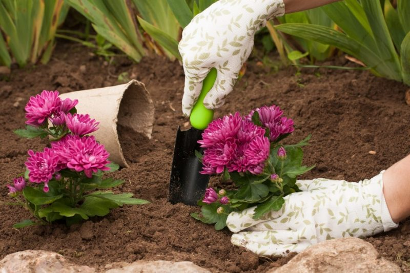 How to Plant and Grow Chrysanthemums (Guide) | Install-It-Direct