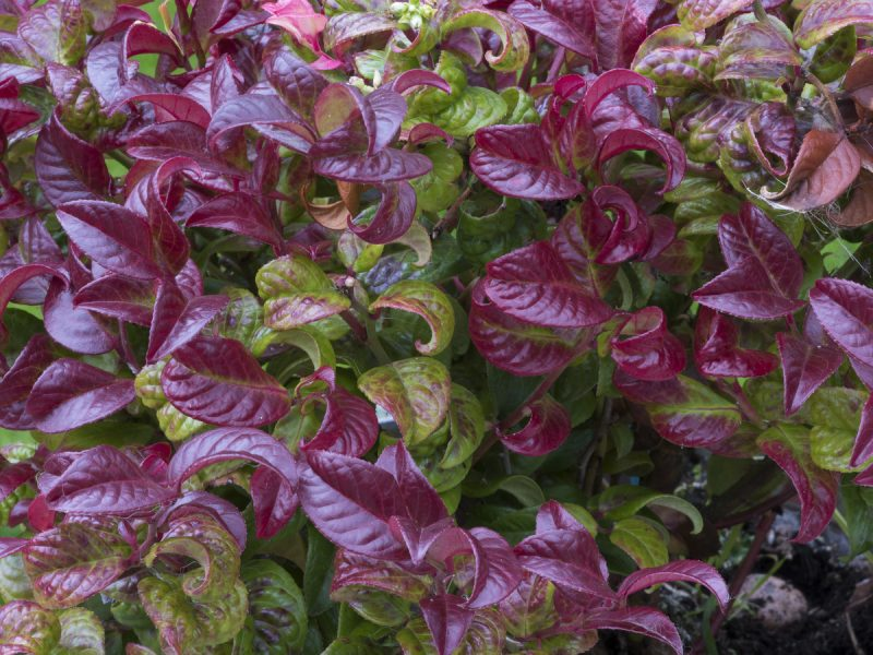 LEUCOTHOE – Southern Living | Southern Living