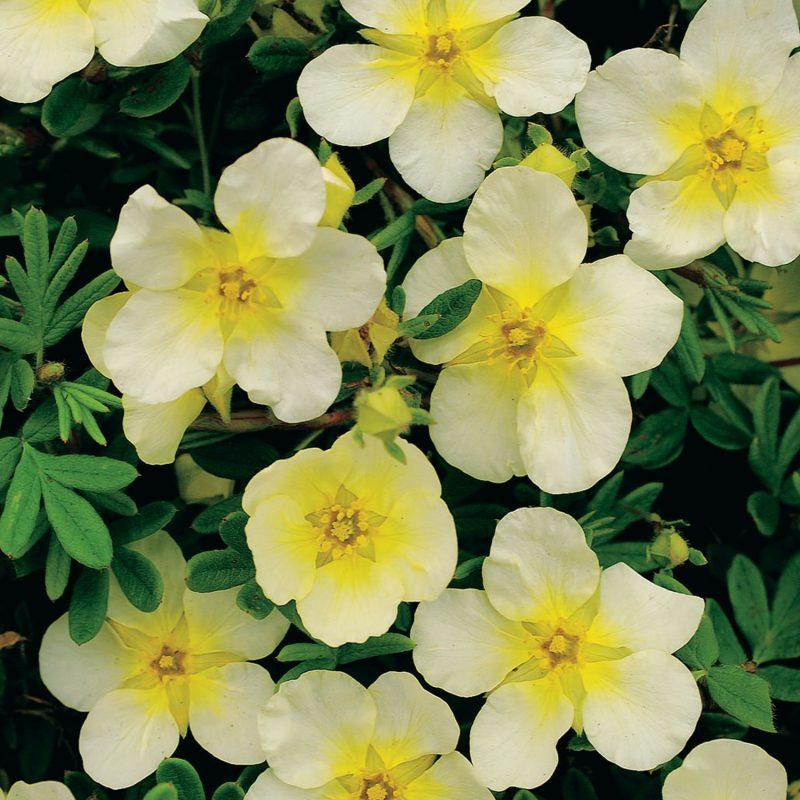 Potentilla fruticosa Limelight - Shrubby Cinquefoil | Plants, Plant care today, Garden plants