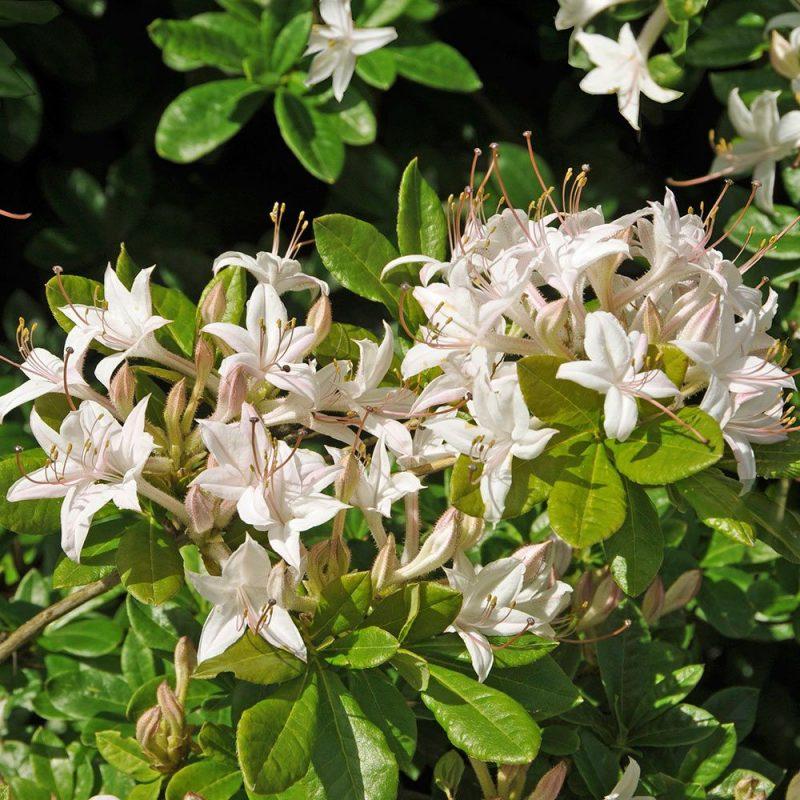Rhododendron viscosum, Swamp Azalea | White Flower Farm