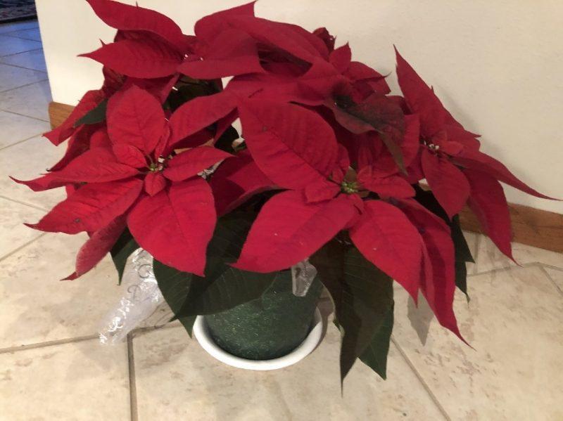 Taking Care of Christmas Poinsettias