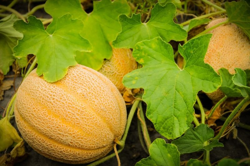 Tips for Growing Successful Melons | Growing cantaloupe, Cantaloupe and  melon, Honeydew melon