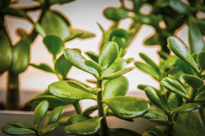 What Kind of Soil Do Jade Plants Like? | Home Guides | SF Gate