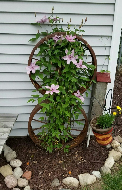 Clematis growing on old wagon wheels bolted together. Wheels staked securely into ground. | Diy garden trellis, Wagon wheel garden, Diy garden
