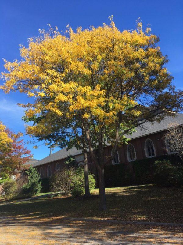 Honey Locust | Bates Canopy | Bates College