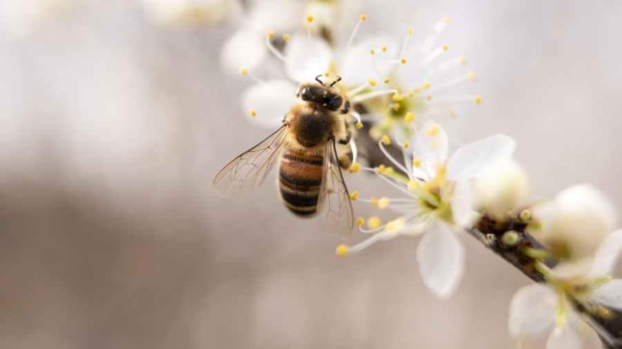 Lebah Bertengger Di Atas Fotografi Closeup Bunga Kelopak Putih