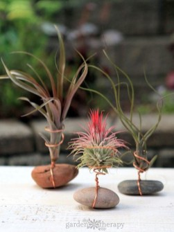 Amazing Air Plants Decor Ideas 23