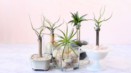 Amazing Air Plants Decor Ideas 26