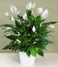 Friendly House Plants For Indoor Decoration 11
