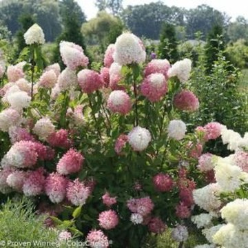 Elegant Colorful Bobo Hydrangea Garden Landscaping Ideas11