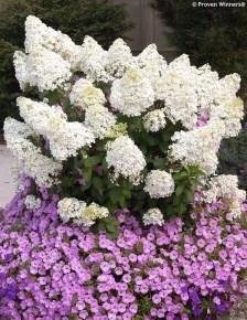 Elegant Colorful Bobo Hydrangea Garden Landscaping Ideas17