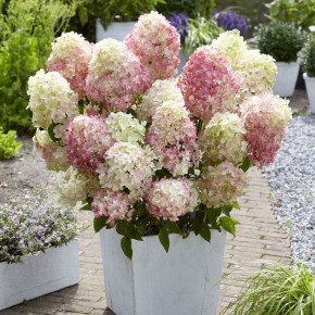 Elegant Colorful Bobo Hydrangea Garden Landscaping Ideas18