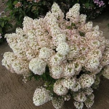 Elegant Colorful Bobo Hydrangea Garden Landscaping Ideas25