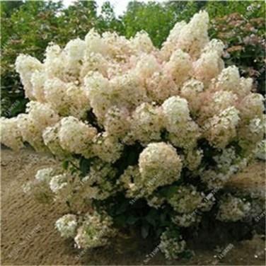 Elegant Colorful Bobo Hydrangea Garden Landscaping Ideas26