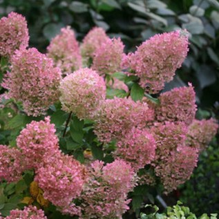 Elegant Colorful Bobo Hydrangea Garden Landscaping Ideas28