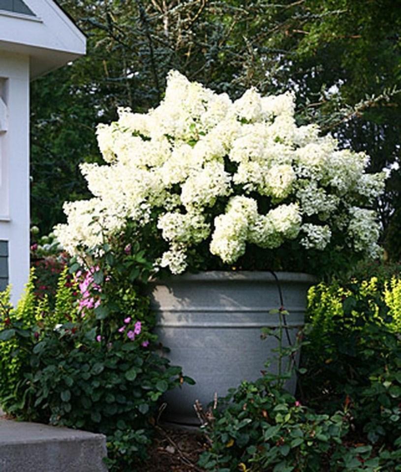 Elegant Colorful Bobo Hydrangea Garden Landscaping Ideas31