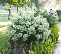 Elegant Colorful Bobo Hydrangea Garden Landscaping Ideas32