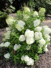 Elegant Colorful Bobo Hydrangea Garden Landscaping Ideas34