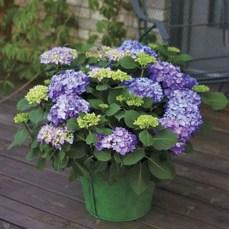 Elegant Colorful Bobo Hydrangea Garden Landscaping Ideas36